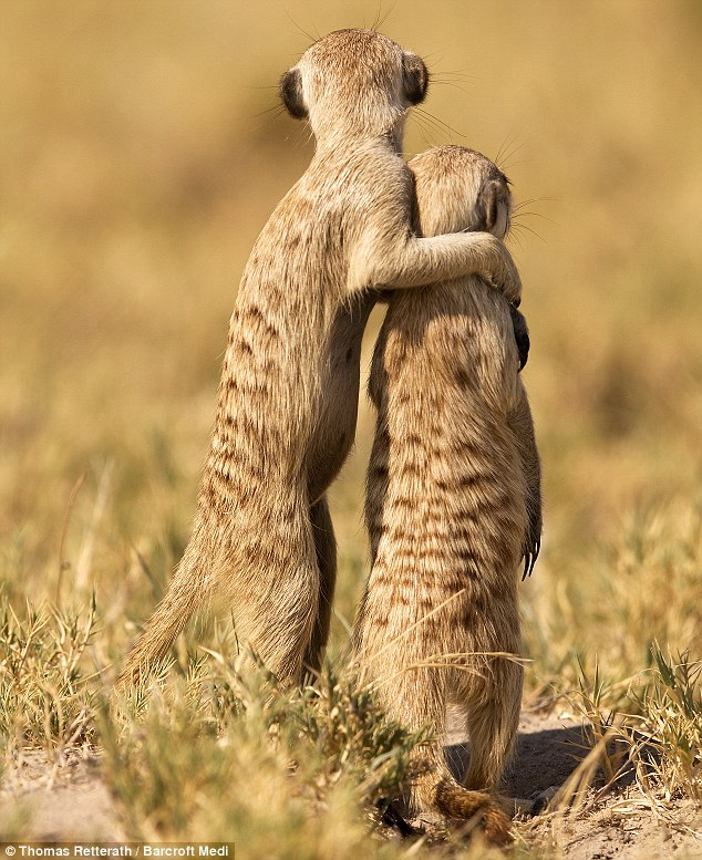 one day son all this will be yours meerkats survey their realm in scene straight out of the. Black Bedroom Furniture Sets. Home Design Ideas
