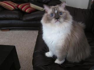 Humane Society Winnipeg Adoptable Cats Peanut