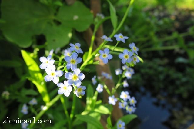незабудка, Myosotis scorpioides, аленин сад, голубые цветы