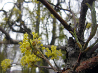 サンシュユの花と葉の新芽