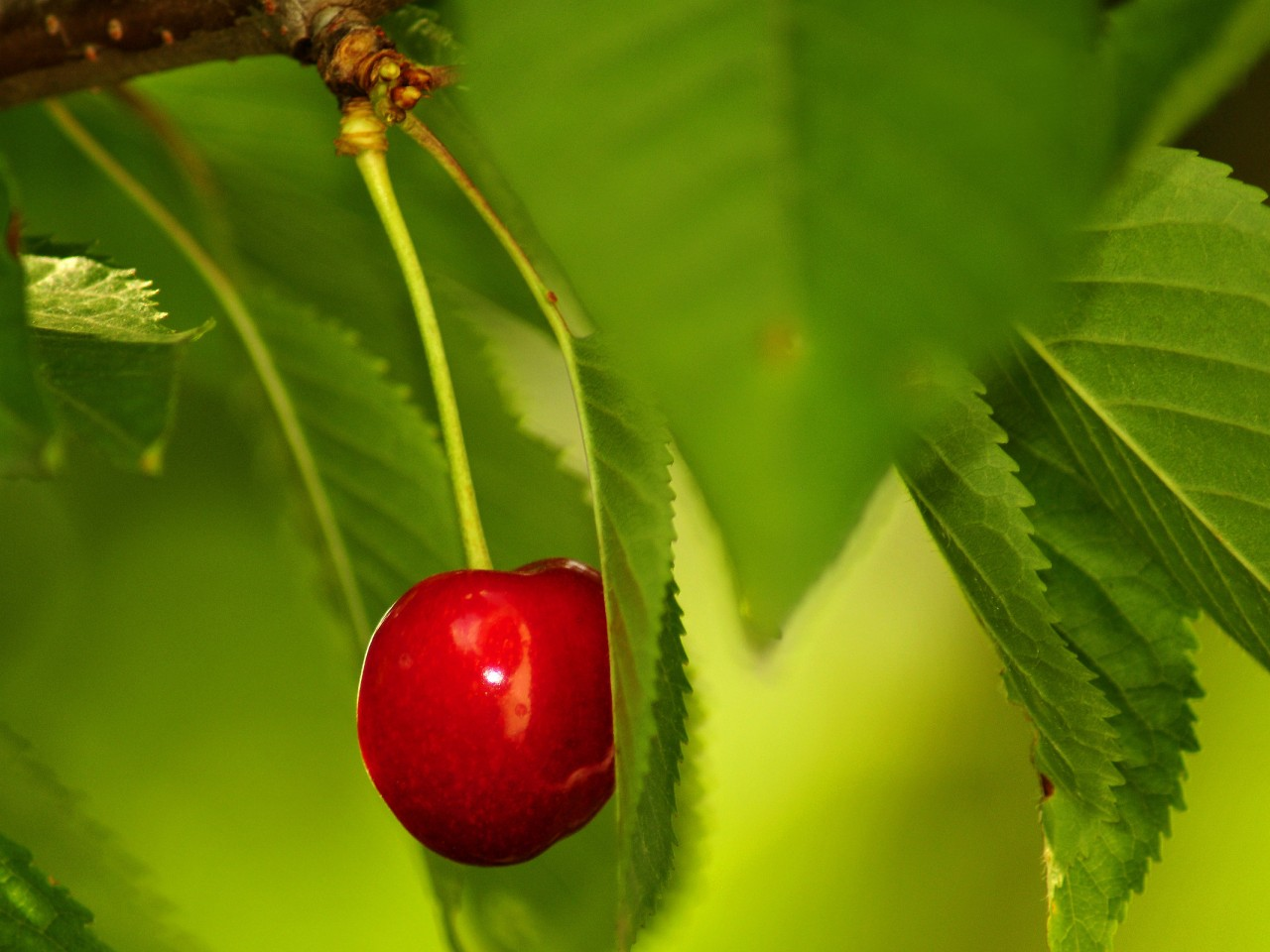 http://2.bp.blogspot.com/-wJq63xQV4Uk/Tv8SVm561iI/AAAAAAAAB9E/scA9Vm7LcaA/s1600/Cherry-red-nature-food-1280x960.jpg