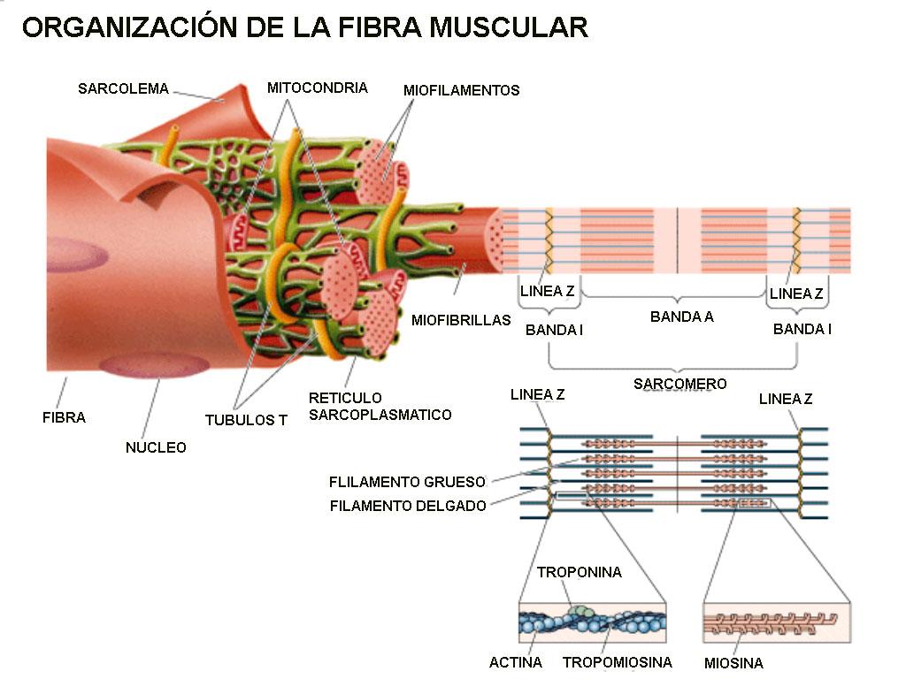 SISTEMA MUSCULO ESQUELETICO   Curso de biología humana V6
