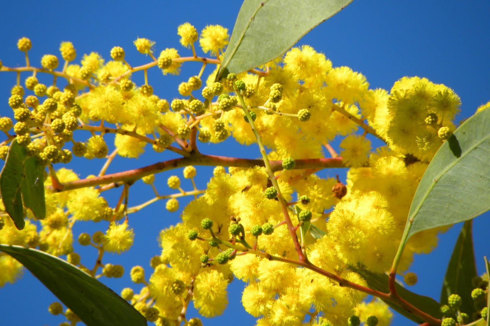 ubobo flowers  lovely golden wattle