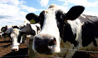 new uk 'reforms' could let milk from tb-infected cattle into food chain