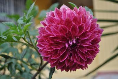 bunga dahlia