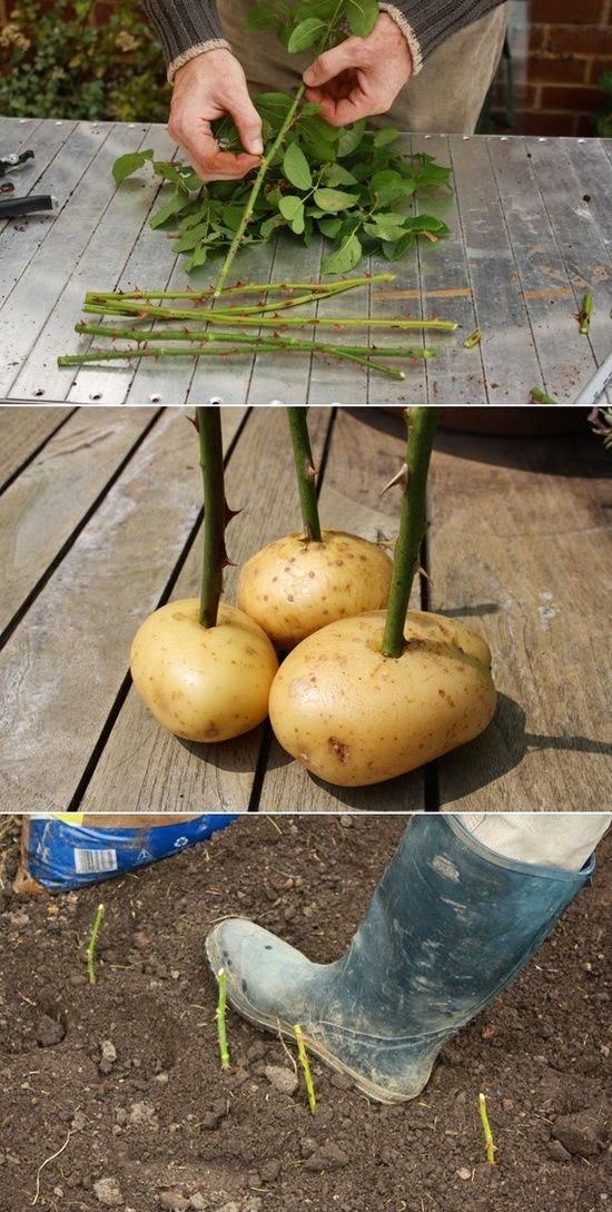 Urbana farmerica: Sadim ruže, niču krompiri