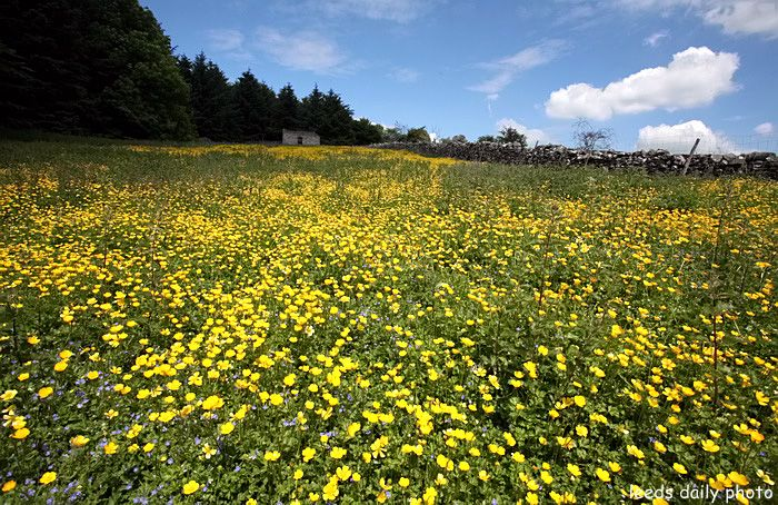 Wildflowers Meadow Wensleydale