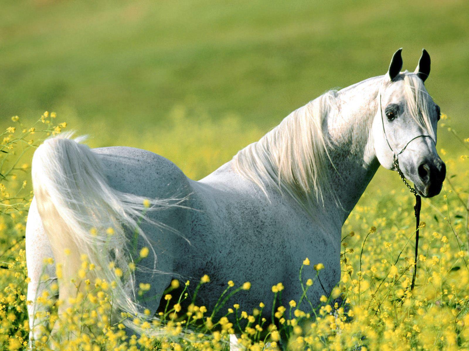 Most Inspiring   Wallpaper Horse Chromebook - Best+White+Horse+Wallpaper  2018_92773.jpg
