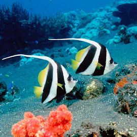 Gambar Ikan Hias @ Digaleri.com