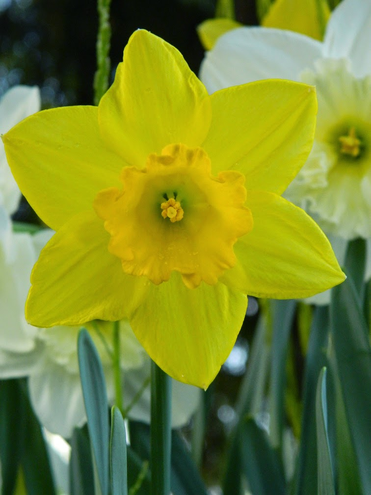 Yellow daffodil Allan Gardens Conservatory 2015 Spring Flower Show by garden muses-not another Toronto gardening blog