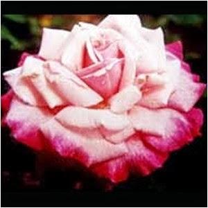 Bunga Mawar Cipanas Dwi Warna