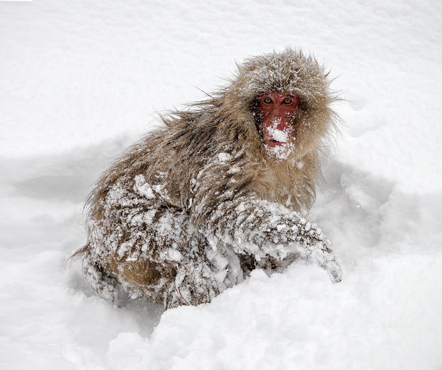 23. Snow Monkey