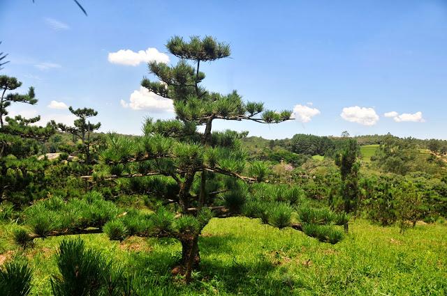 pinheiro negro jardim japones