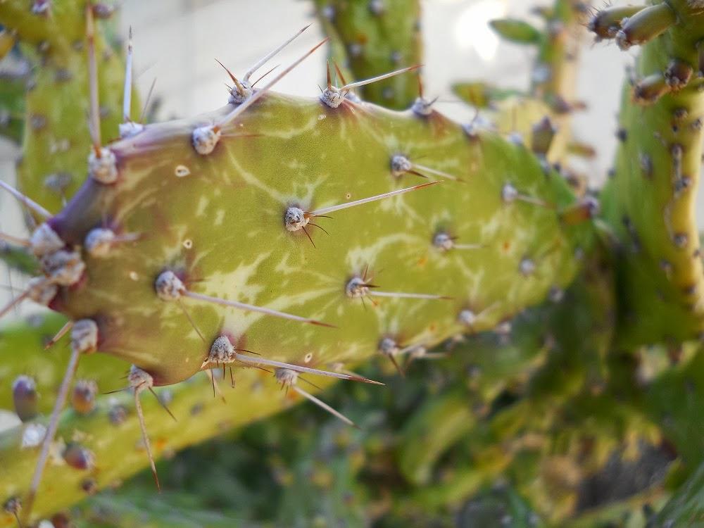 Opuntia cochenillifera