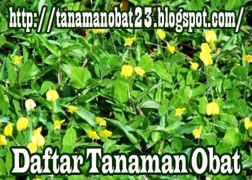 Tanaman Obat Landep (Barleria prionitis L.)