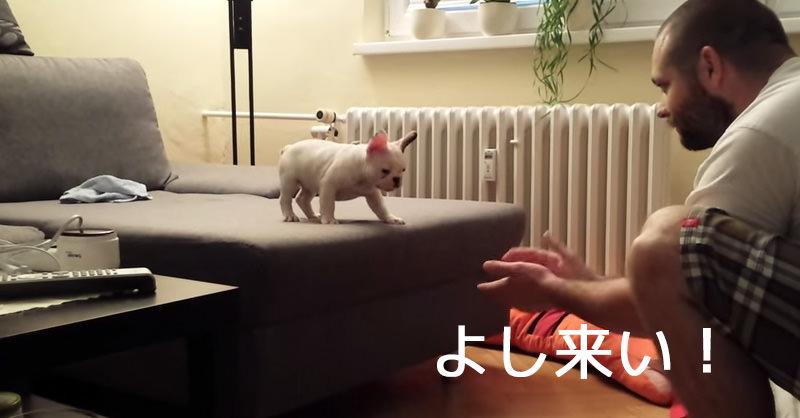 離れた飼い主に飛び移ろうとするフレンチブルドッグの子犬がカワイイ