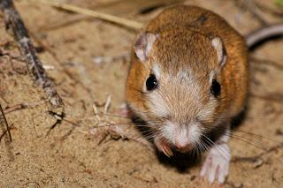 Image of Kangaroo Rat