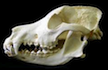 The canine skull is a thing of beauty