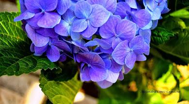 Hortensia de verano