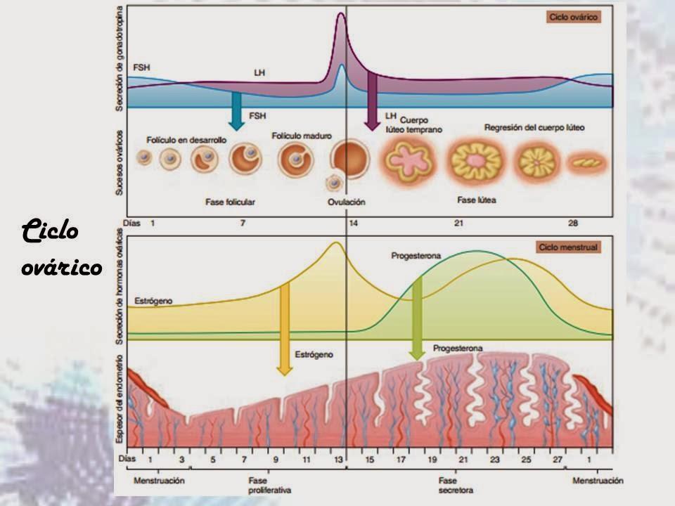 accion hormonas esteroideas