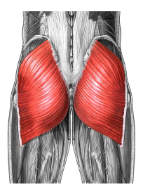 The biggest muscle in the human body - the buttock muscle