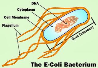Hình mô phỏng vi khuẩn E. coli.