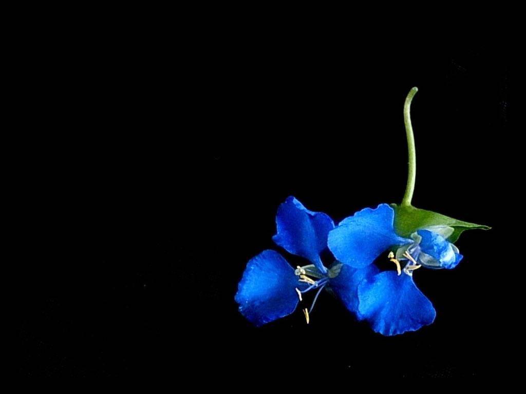 http://2.bp.blogspot.com/-wNpQ_kSfcaI/T3k9wiGew1I/AAAAAAAABD4/hAGIZtoVWMA/s1600/love-blue-flower.jpg