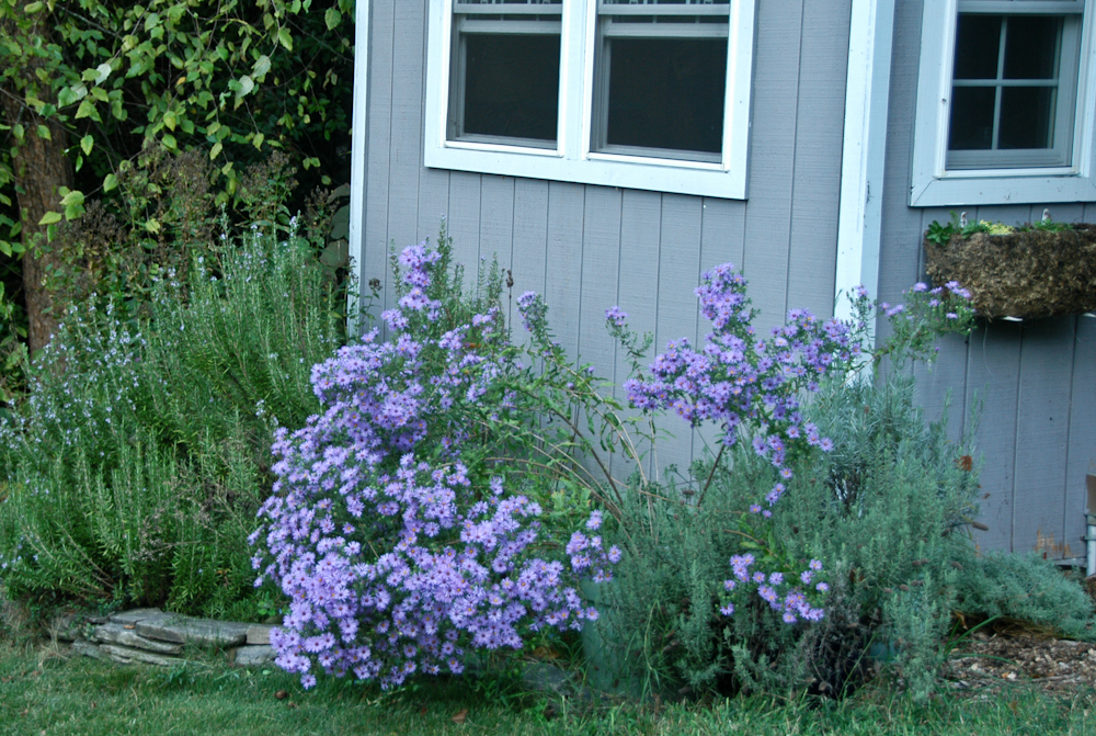 New England Aster (Symphyotrichum Novae Angliae) Is A Stalwart For  Fall Flowering Garden Beds (and Containers, Too).
