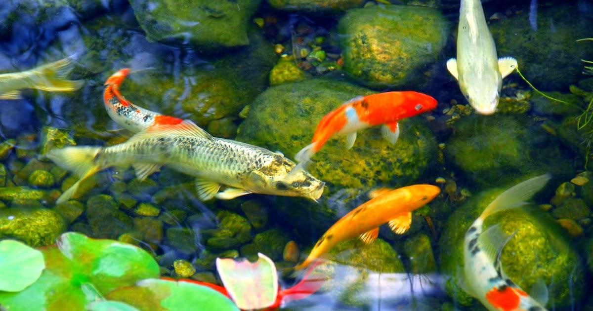 Membuat Filter Kolam Ikan Hiasan Agar Air Sentiasa Jernih