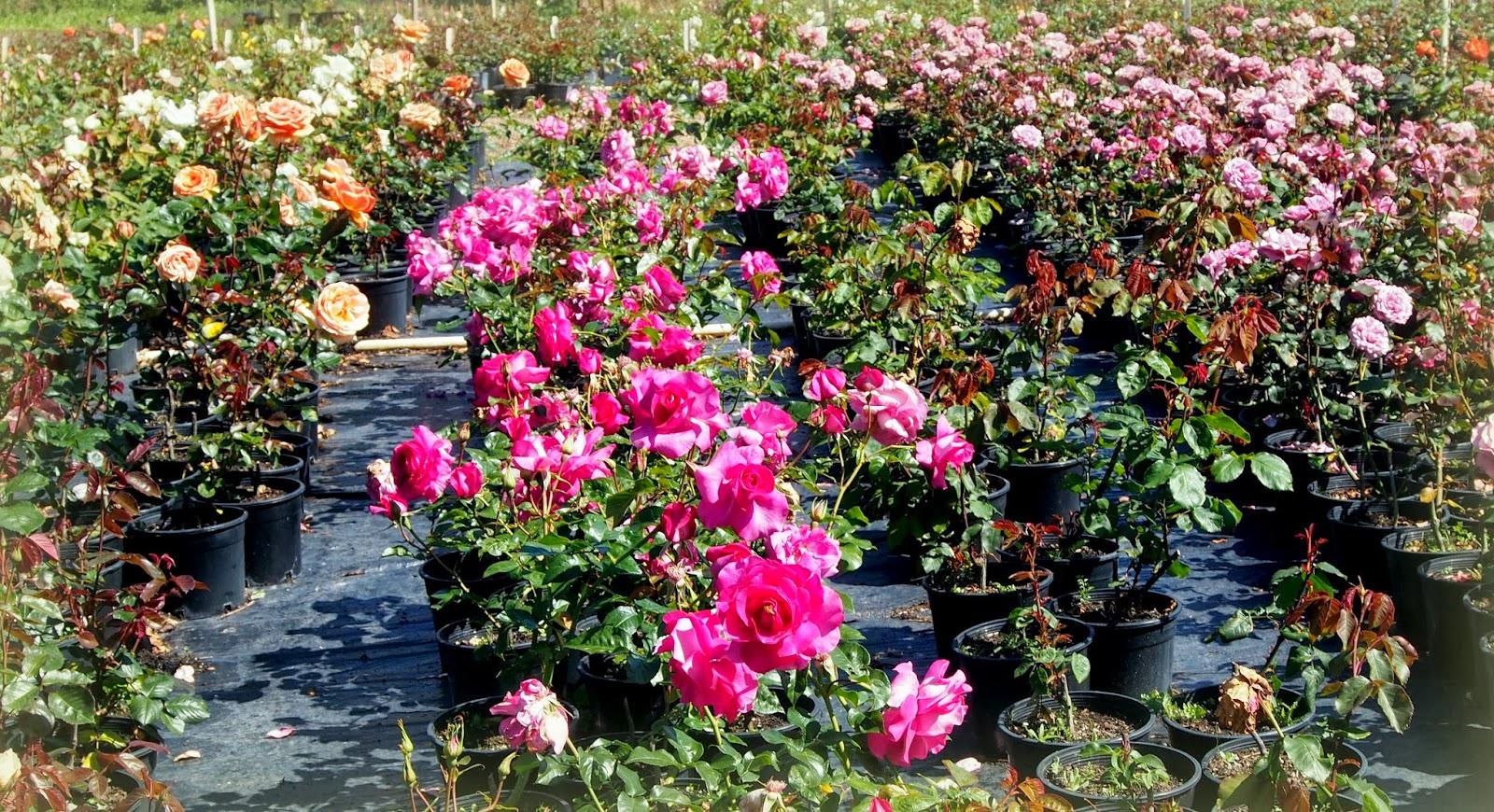perth daily photo rose heritage cafe et 39 le jardin de rose 39. Black Bedroom Furniture Sets. Home Design Ideas