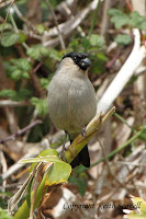 http://keithscovell.blogspot.co.uk/2013/07/azores-bullfinch.html