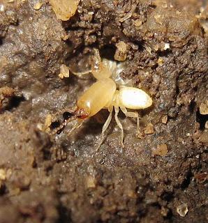 Soldier of Dicuspiditermes nemorosus termite