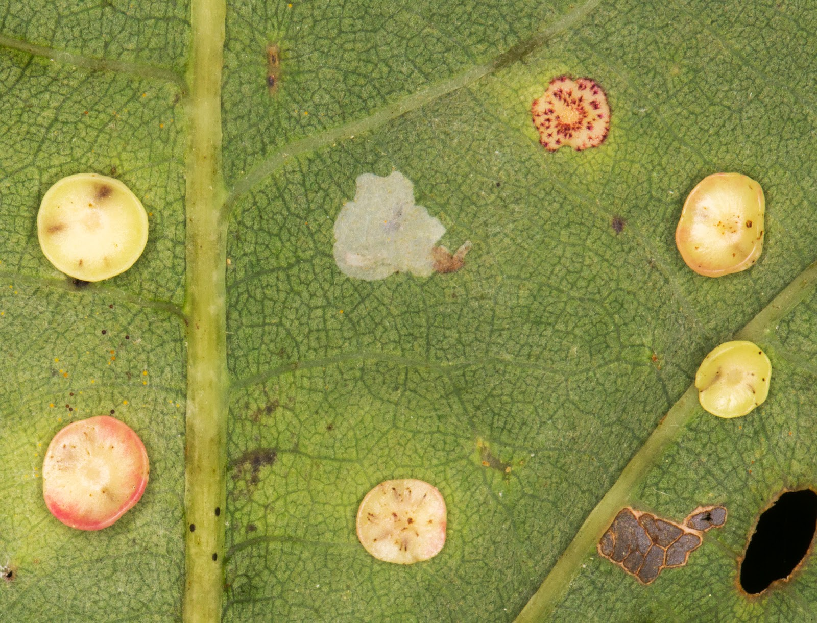 Smooth Spangle Galls, gall wasp Neuroterus albipes.  Hayes Common, 15 September 2014.