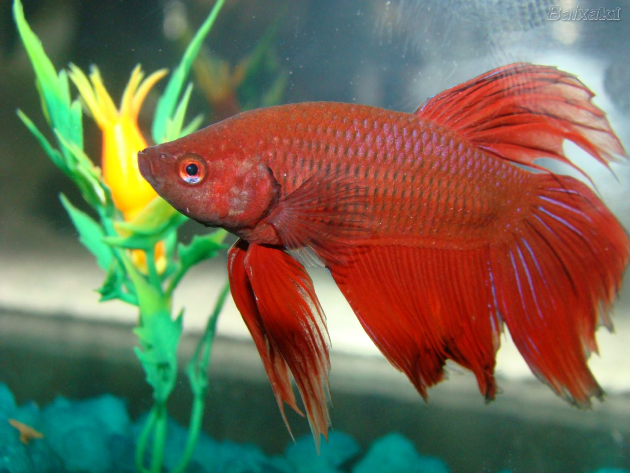 how to transfer a beta fish ph