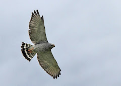 GRAY-LINED HAWK
