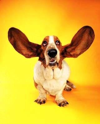 Corte de orejas a PitBull , explicacion a detalle