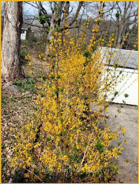 forsythia in full yellow blooms photo