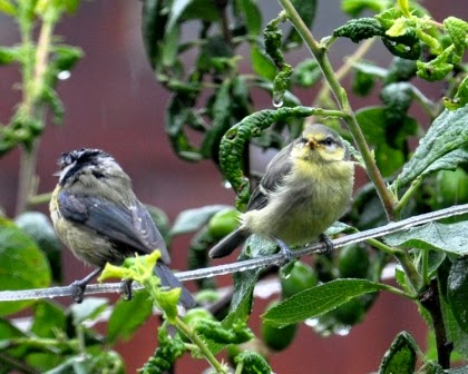 adult blue tit and juvenile blue tit