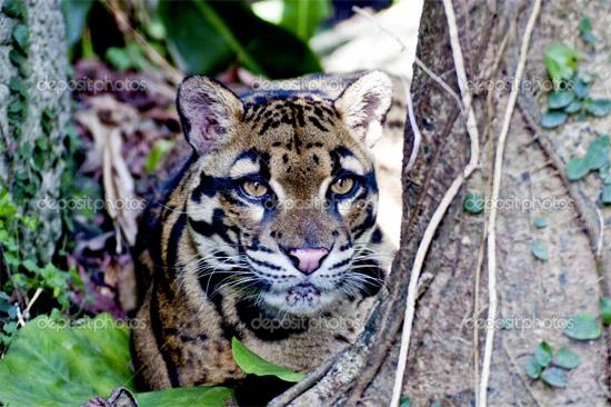 Se extingue subespecie del leopardo - 97.6KB