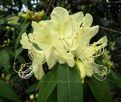 Exbury Azalea in The Ted & Mary Greig Rhododendron Garden