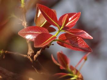 Folhas Cagaita