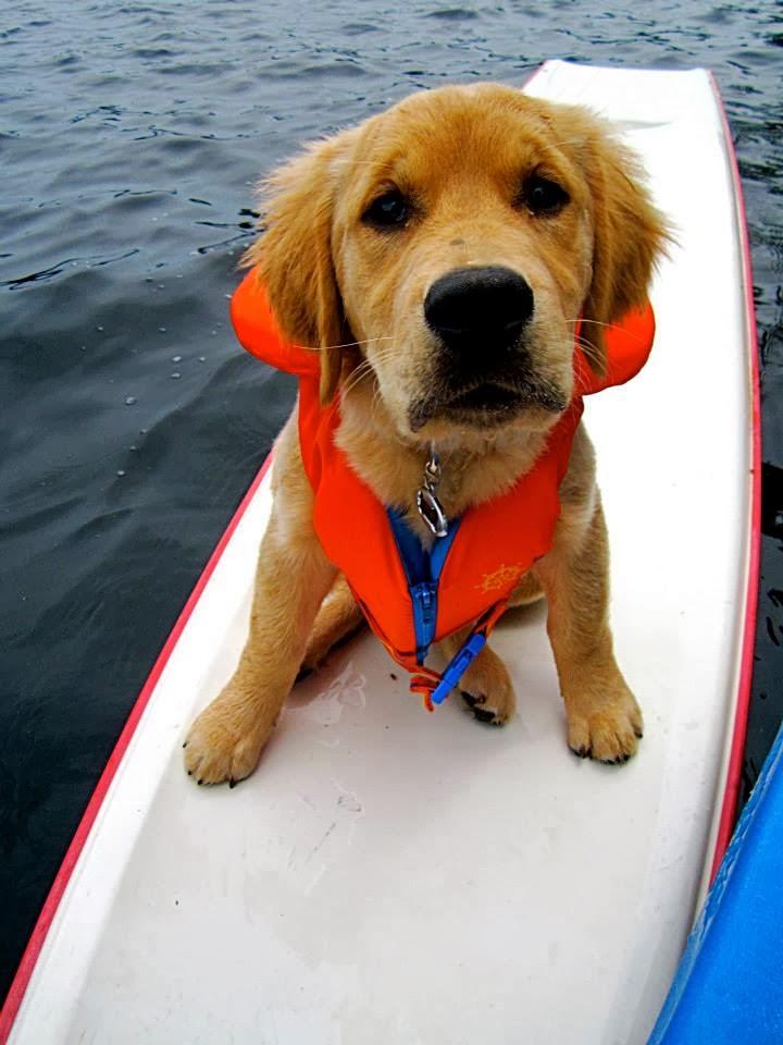 Cute dogs - part 11 (50 pics), golden retriever puppy surfing wears life jacket