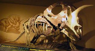 Il torosaurus raggiungeva tra le 6 e le 8 tonnellate di peso