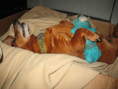dachshund sleeping with his chewy