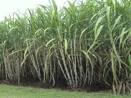 sugarcane cane garden sugarcane cultivation