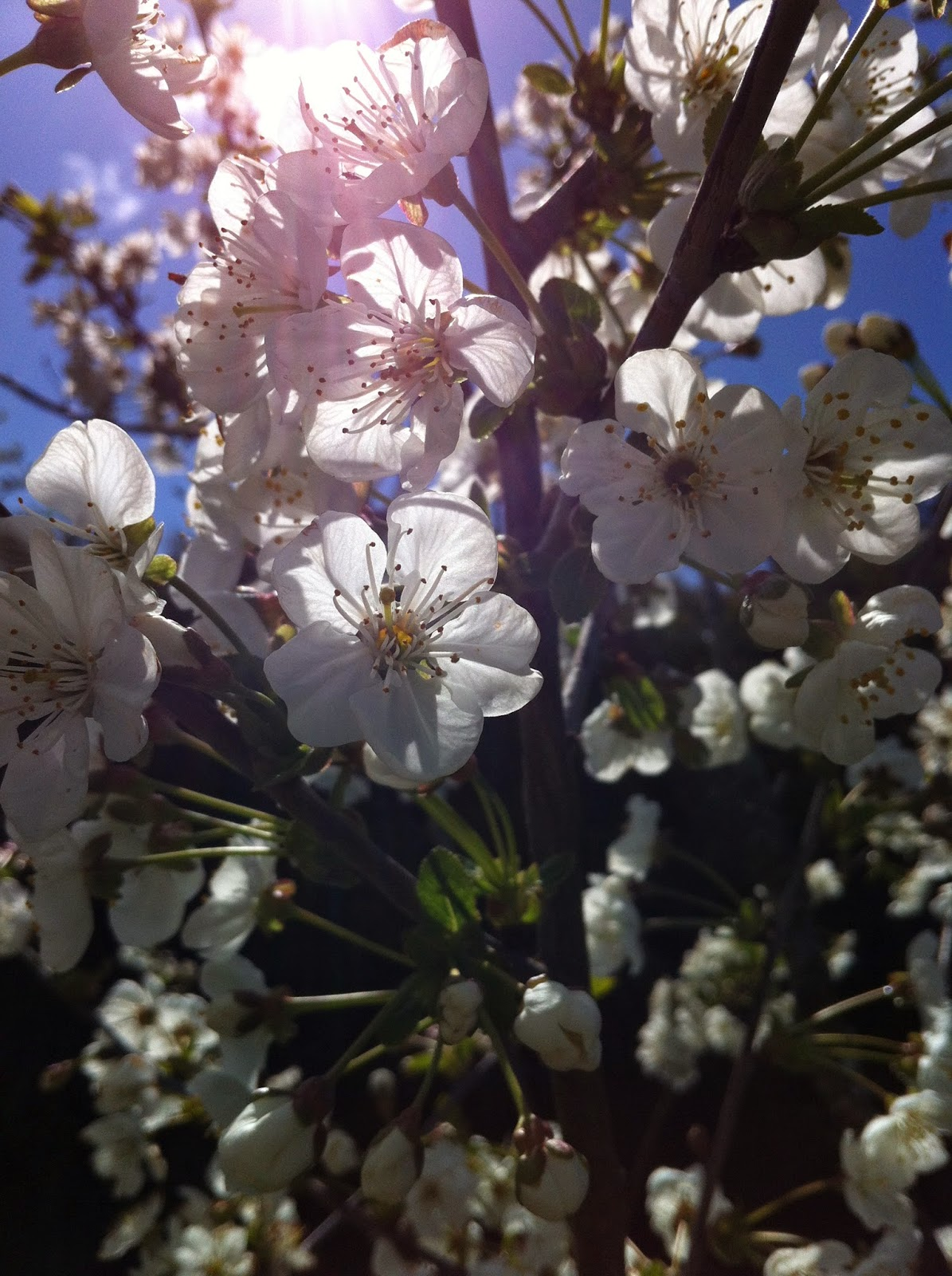 Sunlight streaming through morello cherry blosssom