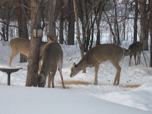 Deer in our backyard