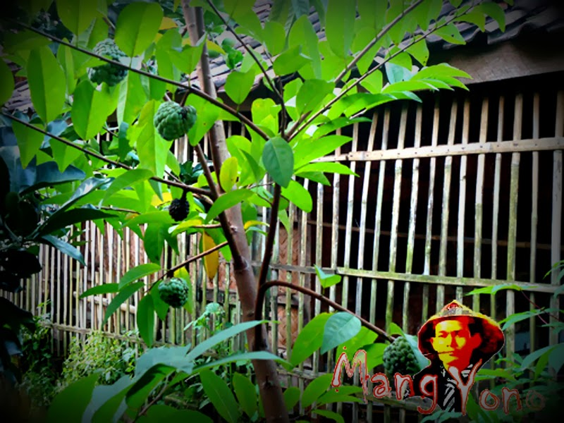 Srikaya atau buah Nona (Annona squamosa) di belakang Rumah Mang Yono