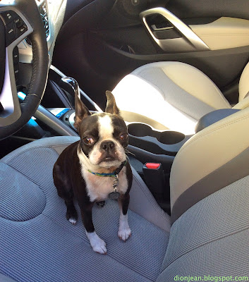 Boston terrier in the driver's seat of a car