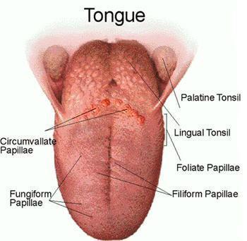 مشاركتي في مسابقة  هل تعلم tongue-detailed.jpg